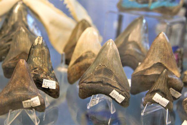 シャークティース(サメの歯)を探すイベント
