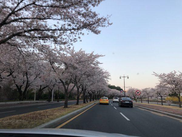 「慶州さくらマラソン&ウォーク」2019に出場した感想